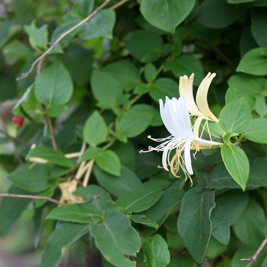 Honeysuckle Freedom