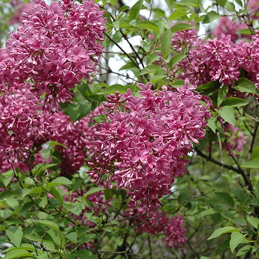 Lilac, Chinese