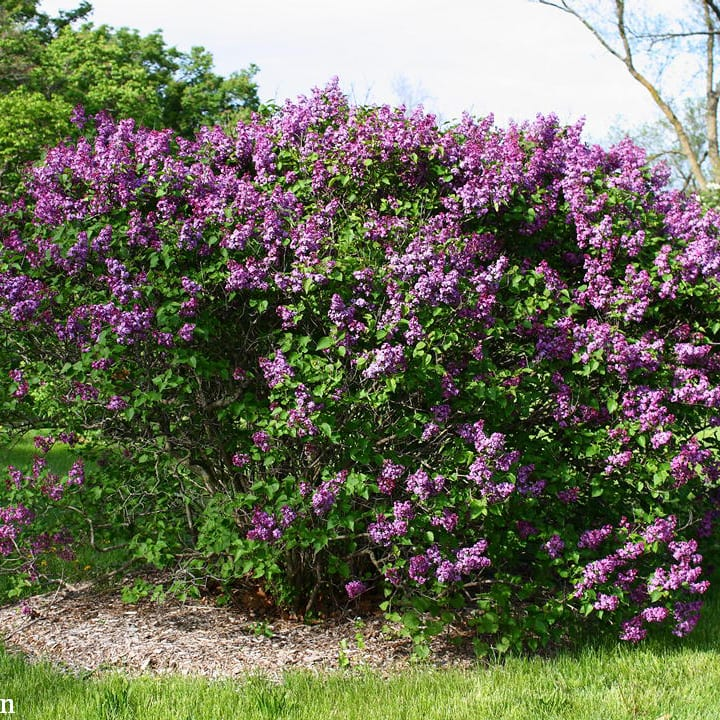 Lilac Common Purple