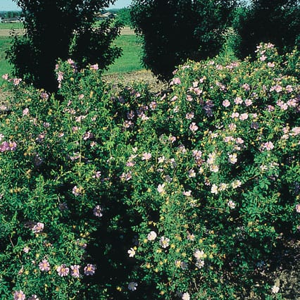 Rose Hansen Hedge